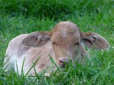 4 day old calf