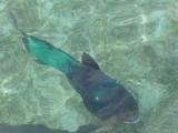 Green ugly fish