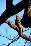 Morton Arboretum, Lisle, IL - fall colors 2012 - American Eagle