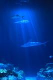 Shedd Aquarium, Chicago, IL - Wild Reef Shark