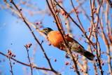 North American Robin (Turdus migratorius), Spring 2013, Palatine, IL