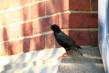 European Starling, Annapolis, Maryland