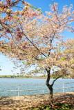 Cherry Blossoms, Washington D.C.