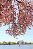 Cherry Blossoms, Tidal Basin, Thomas Jefferson Memorial, Washington D.C.