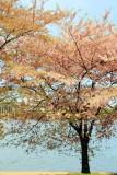 Cherry Blossoms, Tidal Basin, Washington D.C.
