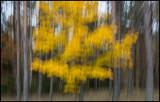 Yellow tree near Bockara - Småland