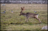 Amale Fallow deer and geese at Ottenby