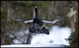 Capercaillie in flight - Norway