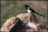 Magpie with a rabbits eye globe and optic nerve (Skata med kaninöga och synnerv) - Spain