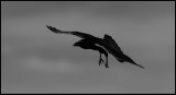 Raven - Black bird in Black & White (Korp)