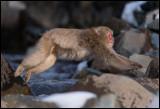 Makak jumping over the stream