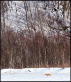 Red Fox at Akan cranefeeding