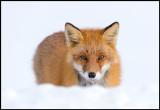 Red Fox - Abashiri Hokkaido