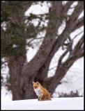Red Fox near Lake Kussharo - Hokkaido