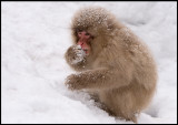 Looking for food in the snow