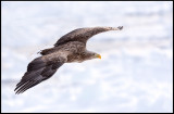 Adult White-tailed Sea Eagle (Havsörn)