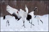 Dancing Snow Cranes