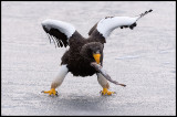 Stellers`s Eagle with fish