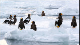 A flock of Steller`s Eagles (and one White-tailed) waiting in the pack-ice