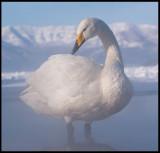 Whooper Swan (Sångsvan) at Lake Kussharo