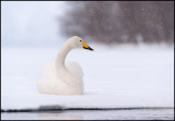 Whooper Swan (Sångsvan)
