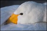 Whooper Swan (Sångsvan) resting