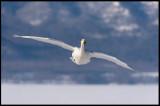 Whooper Swan (Sångsvan) flying in