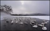 Whooper Swans (Sångsvanar) in Lake Kussharo
