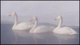 Whooper Swans (Sångsvanar)