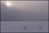 Whooper Swans (Sångsvanar) walking towards open water
