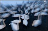 Whooper Swans (Sångsvanar) at dusk