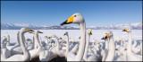 Whooper Swans (Sångsvanar) panorama