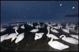Whooper Swans (Sångsvanar) in evening snowfall
