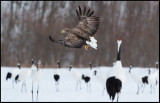 White-tailed Sea-eagle among cranes looking for fish