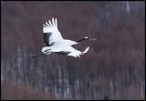 Flying Snow Crane