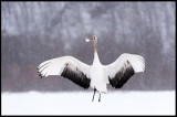 Young Crane laying with snow