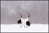 Cranes display in snow