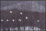 Whooper Swans and Akan forest
