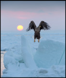 Whit-tailed Sea Eagle at dawn