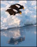 Steller`s Eagles in pack ice