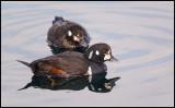 Harlequin Ducks (Strömänder) in Rausu harbour