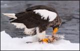 Steller`s Eagle eating a fish