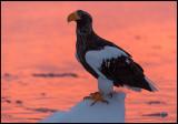 Steller`s Eagle at dawn