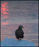 Adult White-tailed Sea Eagle (Havsörn) at dawn