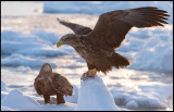 Adult White-tailed Sea Eagles (Havsörnar)