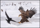 White-tailed Sea Eagle and Crow (Havsörn och Djungelkråka)