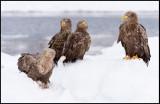 White-tailed Sea Eagles (Havsörnar)