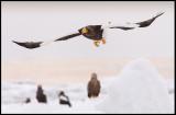 Steller`s Eagle (Jättehavsörn)