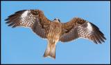 Black Kite (Brun glada) - Lake Furen