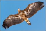 Young White-tailed Sea Eagle - Lake Furen